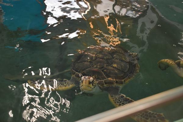 和歌山県 道の駅 すさみ エビとカニの水族館 アオウミガメ