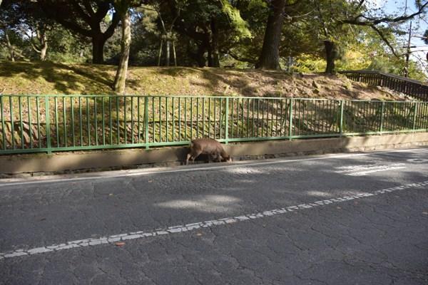 奈良公園 鹿 側溝