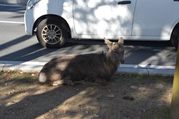 奈良公園 鹿 車道の横