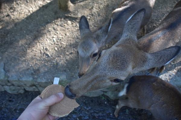 奈良公園 鹿 鹿せんべい